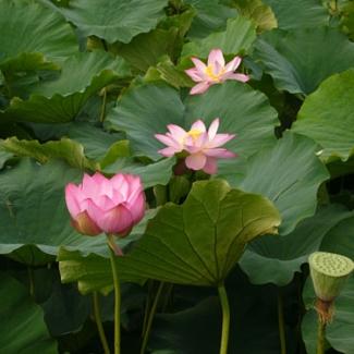 忍野村近くの蓮池公園にて(2) カルガモもいる閑かな時間