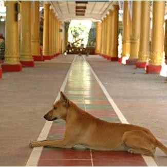 犬も施しのおすそわけを頂いています ミャンマーの犬はみな大人しくて哀しい目をしていました