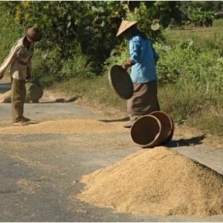 収穫した稲を路上に干して
